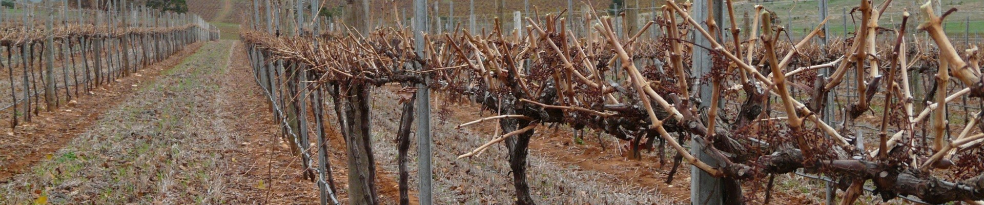 Pruned vines with Ackland Vineyard Services