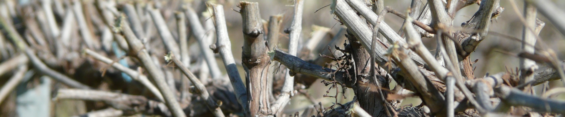 Vines after barrel pruning - Ackland Vineyard Services