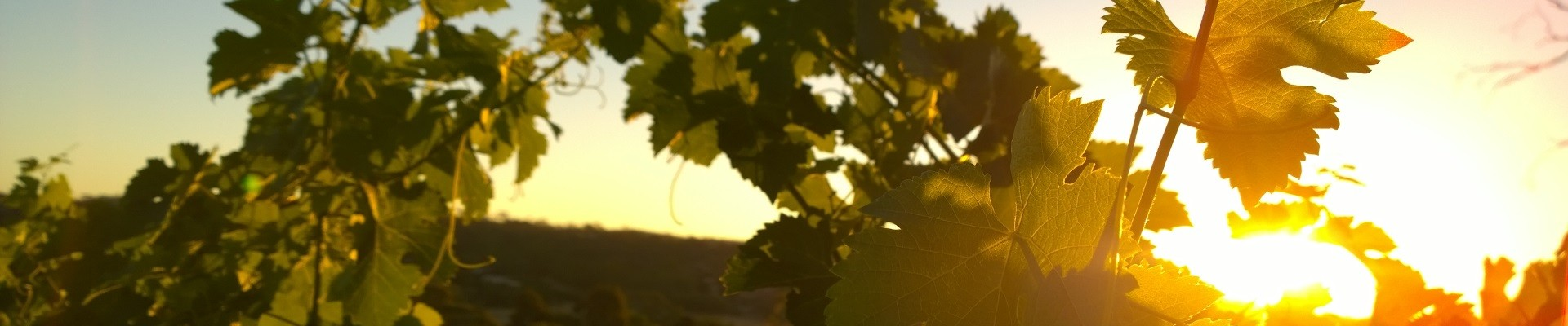 Vineyard sunset with Ackland Vineyard Services