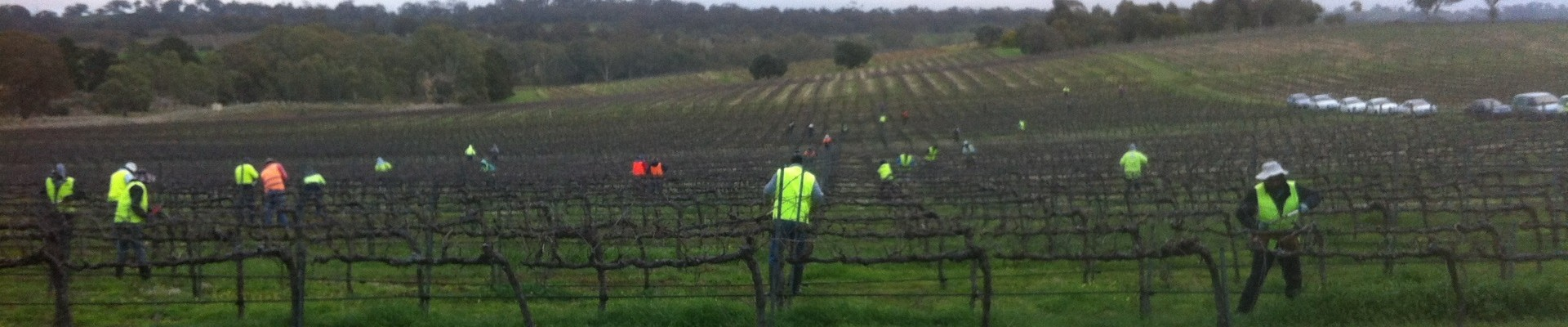 Winter pruning with Ackland Vineyard Services