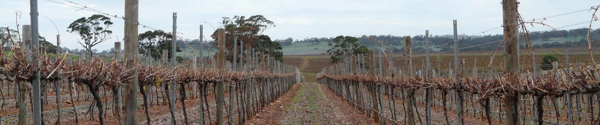 Vines after barrel pruning - Ackland Vineyard Services